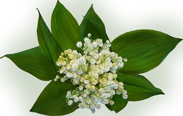 lily-of-the-valley-771108_640_pixabay